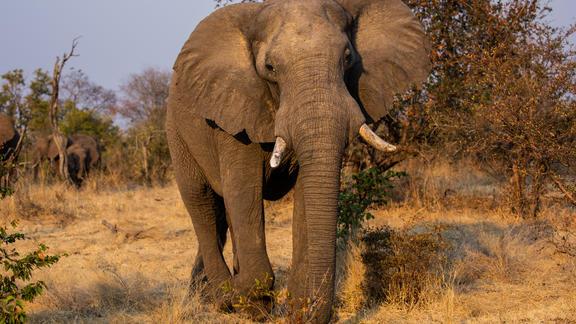Elephant in Zambezi National Park - Elephant in Zambezi National Park