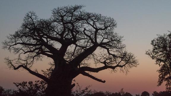 Baobab near Mpala Jena Camp - Baobab near Mpala Jena Camp