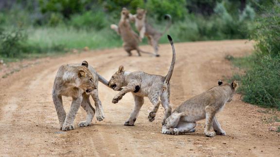 Playfull Lion Cubs -