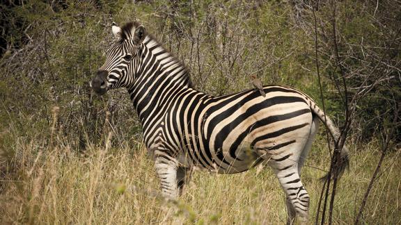 Burchell's zebra, a common sighting while on safari -