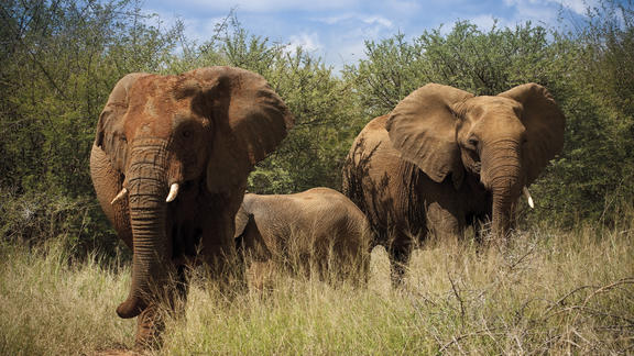 African elephant - pretty much a guaranteed sighting -