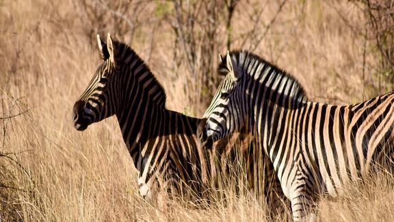 Game Drive Zebra Sighting -